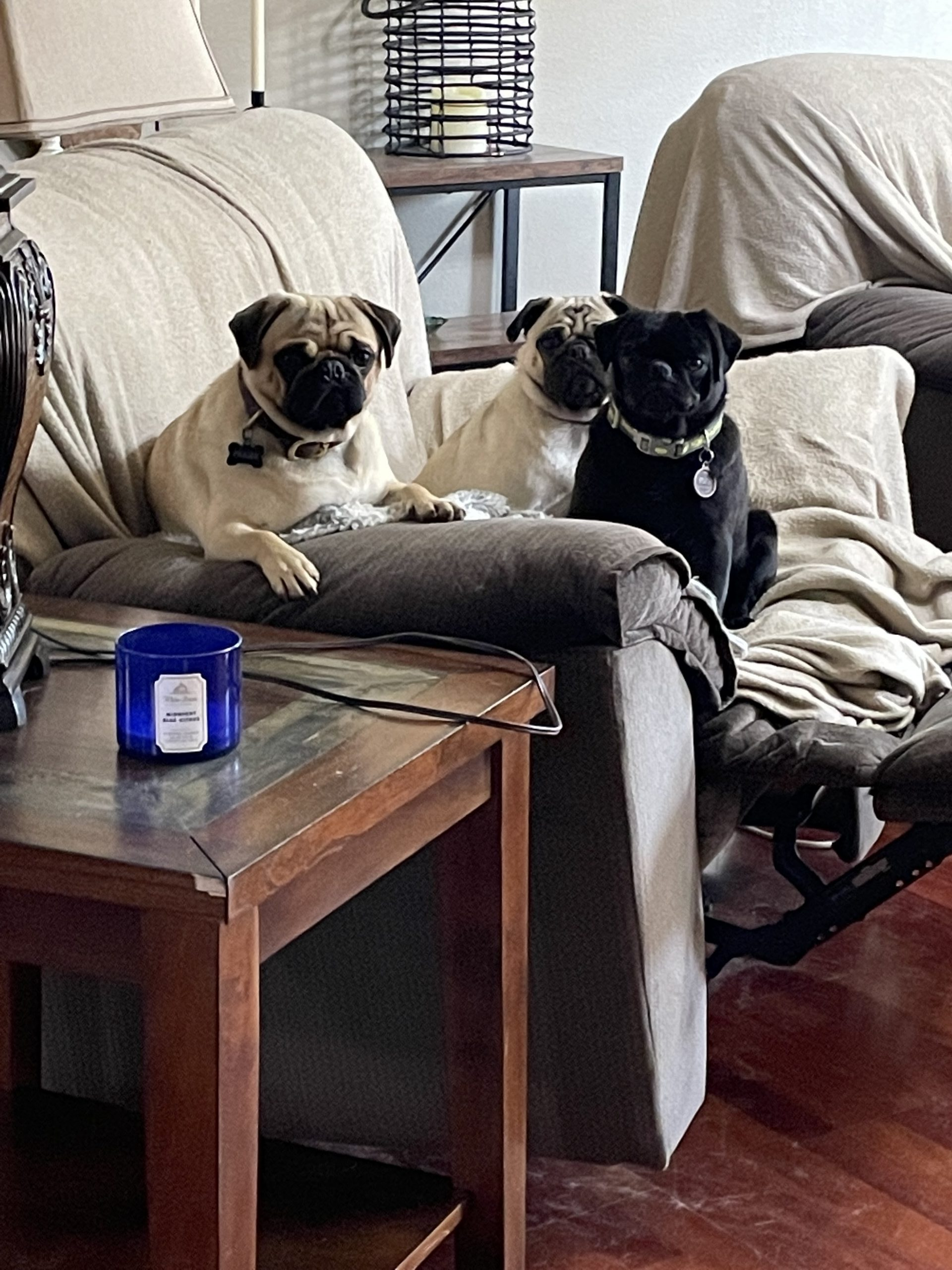 The Pugs of Pug Life Puppies